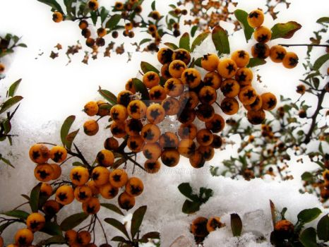 Winter berries 2. by Shaquiry