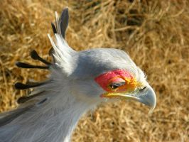 Secretary Bird II by Jenvanw