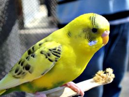 Yellow budgie - Stock by OneLifeStock