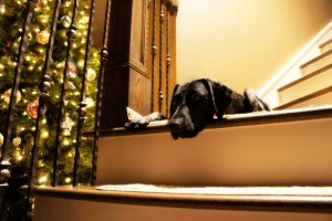German Shorthaired Pointer X by LDFranklin