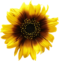 Sunflower PNG #2 by DarkSideofGraphic