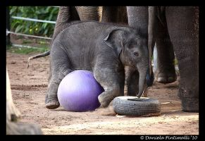 Clumsy Baby Elephant VI by TVD-Photography