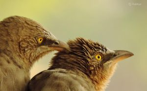 Jungle Babblers by Prabhjot-Singh