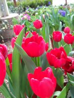 Red Tulips by theNanna