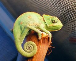 Veiled Chameleon by Toriroz