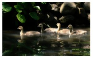 Ducklings by mzkate