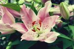 Rose lilly by juliagolden