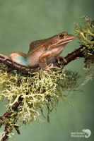 Green and gold bell frog by AngiWallace