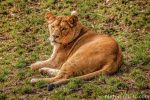 Lioness by brijome