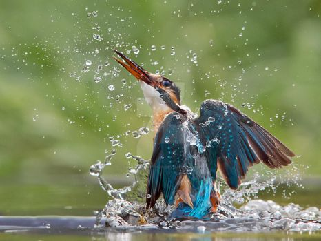 Wet and wild - common kingfisher by Jamie-MacArthur