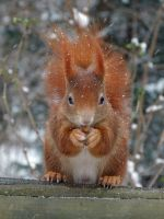 Squirrel 10 by Cundrie-la-Surziere