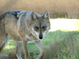 Nov1: Mexican Wolf 6 by FamilyCanidae