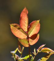 Fall Rose Leaves by Tailgun2009
