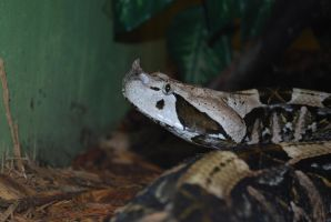 West African Gaboon Viper 01 by ManitouWolf