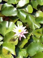Close Up Of Water Lily by K8kate160