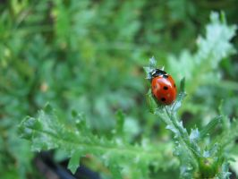Uplifted Lady Bug. by KimberleePhotography