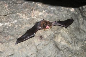 Myotis lucifugus - Little Brown Bat by topshelf81
