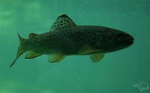 Brown Trout by Korppi-Clicks