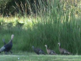 Family of Wild Turkeys 3 by AHumrich92