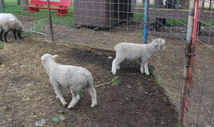 Stock 402 - Lambs by pink-stock