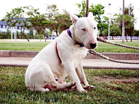 Bullterrier called tom by Ownillness