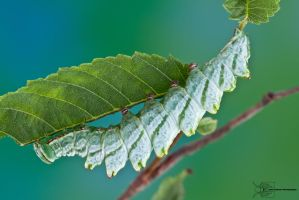 Double-toothed Prominent - Nerice bidentata by ColinHuttonPhoto