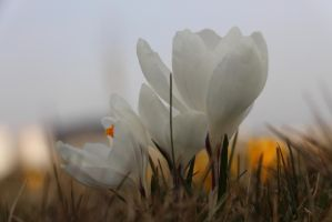White crocus by kad-portraits