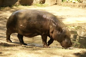 Hippo 003 by MonsterBrand-stock