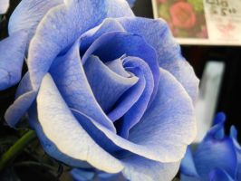 Blue rose by firerain3