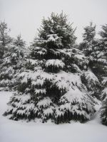 Pine Tree Forest Winter 2 by Salamander-Stock