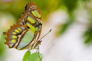 Chameleon butterfly by Nicho90
