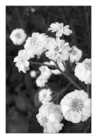 Black and white flowers by MichelleMarie