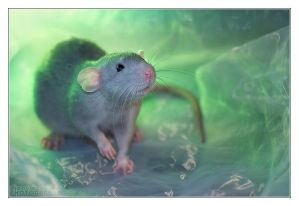 Aegir 1 - Fancy rat
