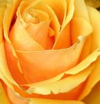 Yellow rose by Biljana1313