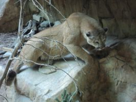 Crouched Cougar 4 by IntriguingBeast