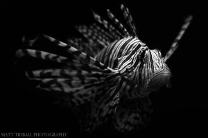 Lionfish by mattTIDBALL