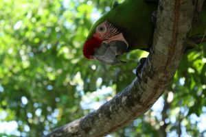 Mexico Parrot by Kingfisher2