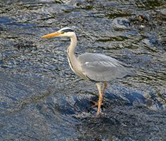 Grey heron fishing by piglet365