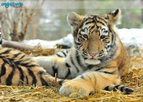 Tiger Cub 700_4467 by mgroberts
