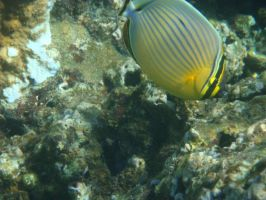 Oval Butterflyfish by FooDusty