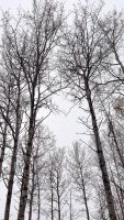 Birch Trees by RedApropos