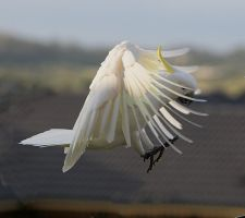 Sulphur Crested Cockatoo 29 by chezem