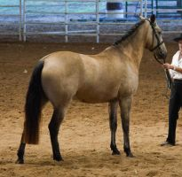 STOCK - 2014 Andalusian Nationals-2 by fillyrox