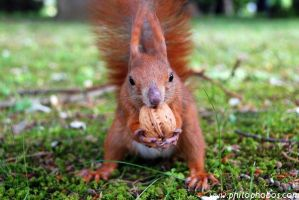 squirrel and walnut by Philophobos