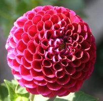 Denver Botanical Dahlia 6 by Falln-Stock