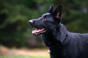 Black German Shepherd by ankaszklanka