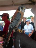 Sparrow Hawk at Scottish Games by mmad-sscientist
