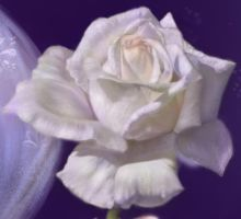 fanaa detail white rose by witchcats