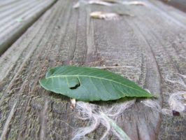 A Clean Leaf by Toderico