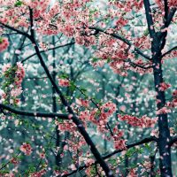 Cherry snow by JunJun510